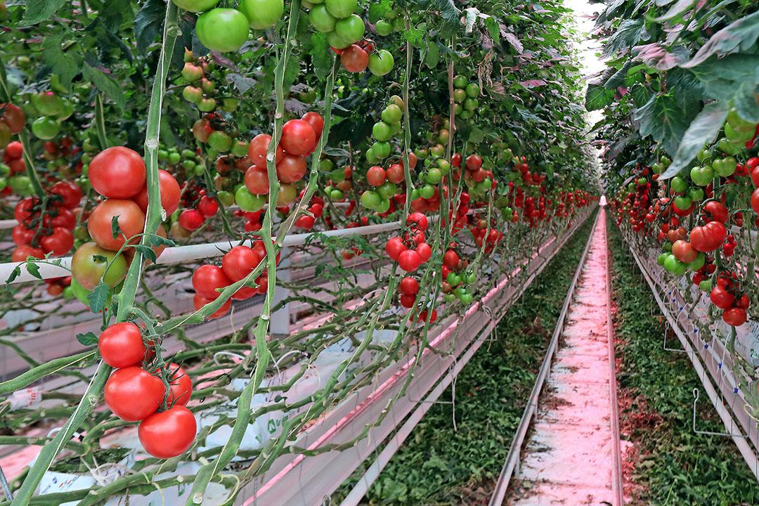 Tomaten in de kas. Deze bedrijven zijn vaak groter en weten een betere prijs te bedingen. - Foto: Fotostudio Atelier 68