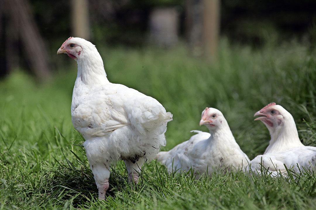 Bezwaren tegen vestiging biologisch vleeskuikenbedrijf KemperKip ongegrond verklaard. - Foto: Henk Riswick