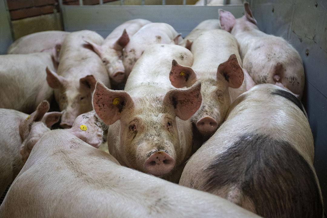 Het laden van varkens op een varkensbedrijf. - Foto: Ronald Hissink
