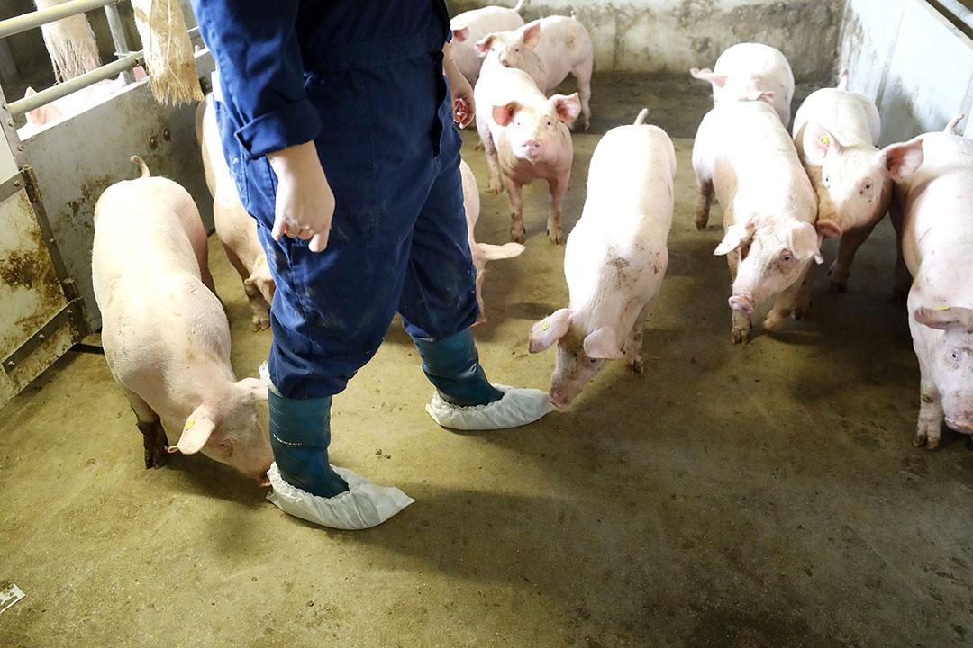 Gerichte aanpak van zoönosen zoals salmonellabestrijding in een varkensstal. - Foto: Bert Jansen