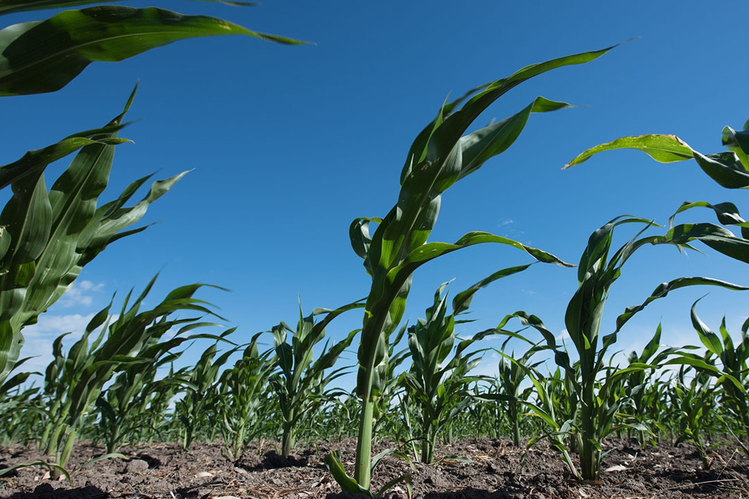 De stand van de mais in Argentinië is heel matig. Slechts 17% wordt beoordeeld als goed tot uitstekend. Foto: Canva