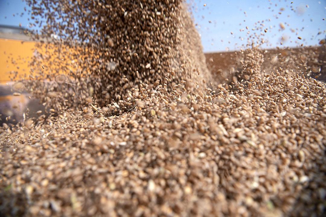 Egypte produceert veel te weinig tarwe voor de binnenlandse vraag. Foto: Mark Pasveer