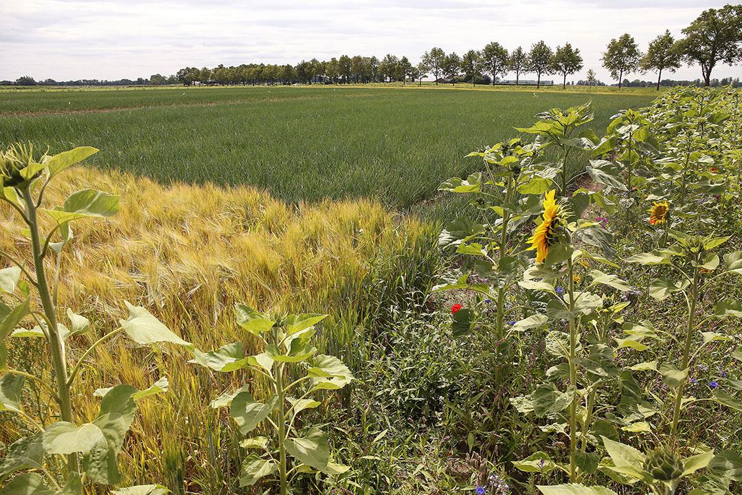 Akkerranden met diepwortelende plantensoorten binden bijvoorbeeld ook koolstof uit de atmosfeer in plant en bodem. Foto: Hans Prinsen