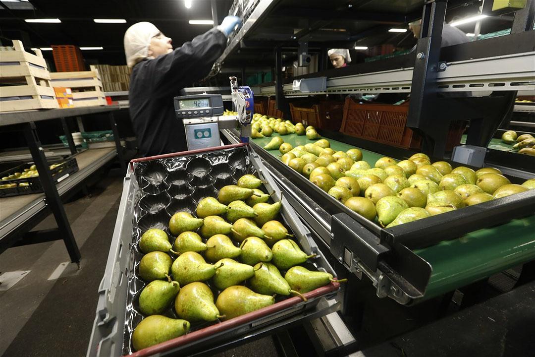 FruitMasters is de grootste fruitcoöperatie van Nederland met ruim 400 aangesloten fruittelers in hard- en zachtfruit. - Foto: ANP