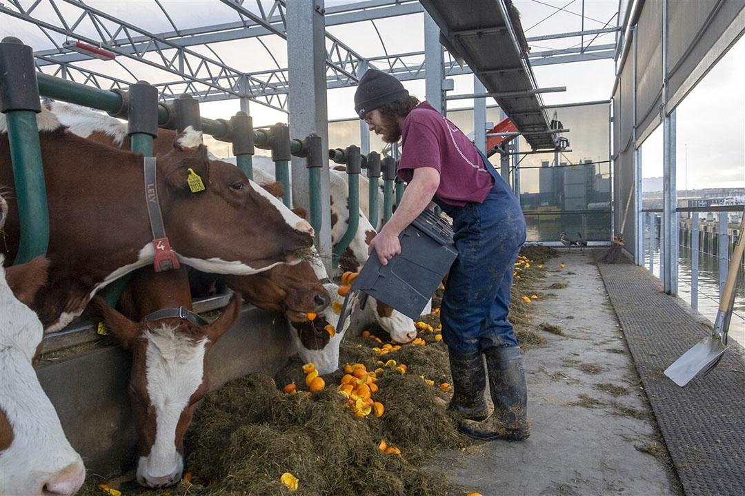 Melkvee op de 'Floating Farm' in Rotterdam krijgt reststromen uit supermarkten bijgevoerd. - Foto: ANP