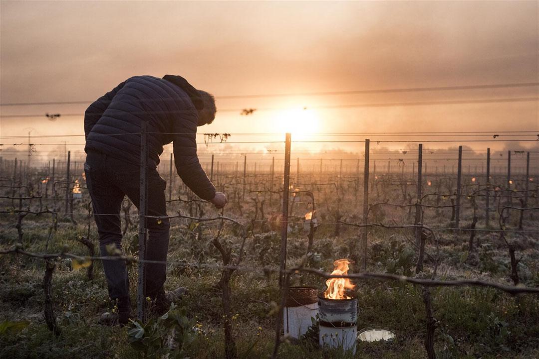 In sommige delen van Frankrijk vroor het vorige week vooral in de vroege ochtend enkele dagen achtereen meer dan vijf graden. De wijnbouw is het zwaarst getroffen met grote schade in 80% van de meeste Franse wijngaarden. Foto: AFP