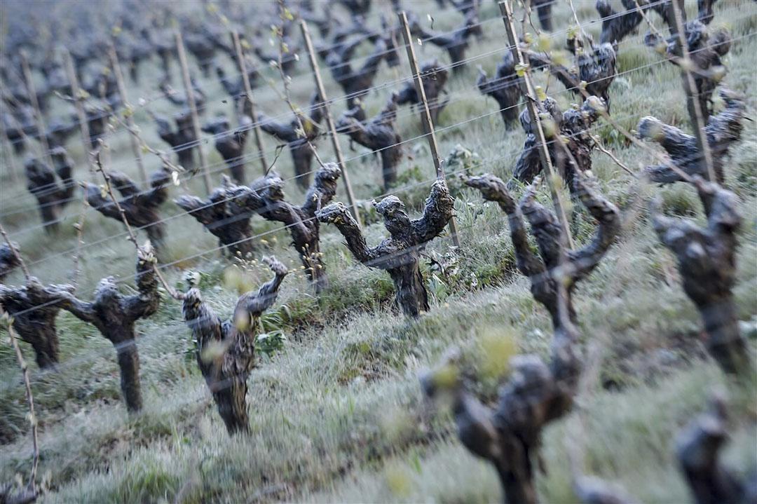 Voor de wijnsector loopt de schatting aan vorstschade op tot €2 miljard. - Foto: ANP