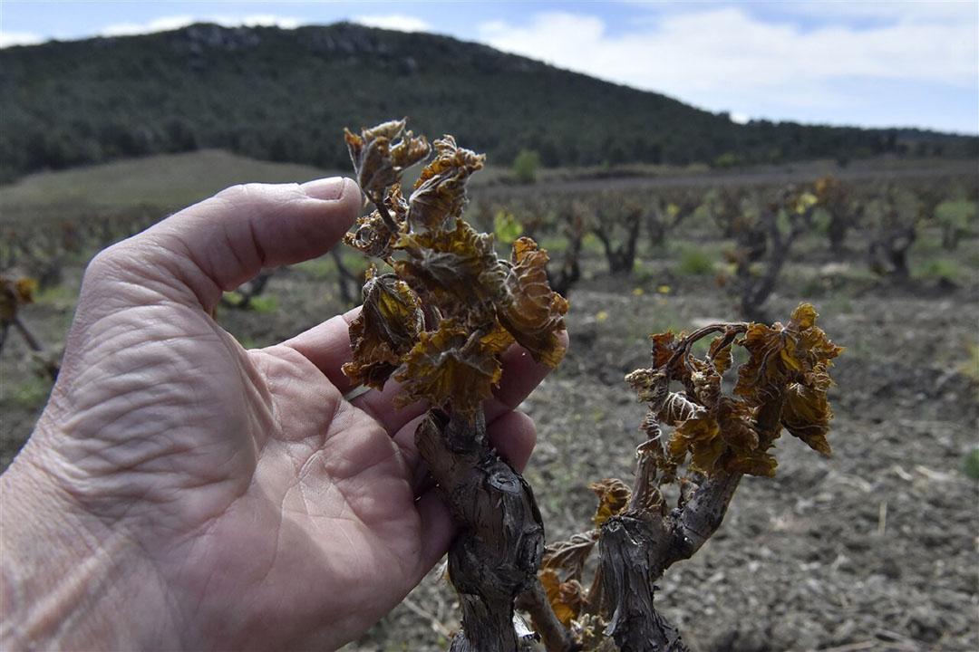 De voorjaarskou heeft flinke schade aangericht in de Franse wijnbouw. Foto: ANP