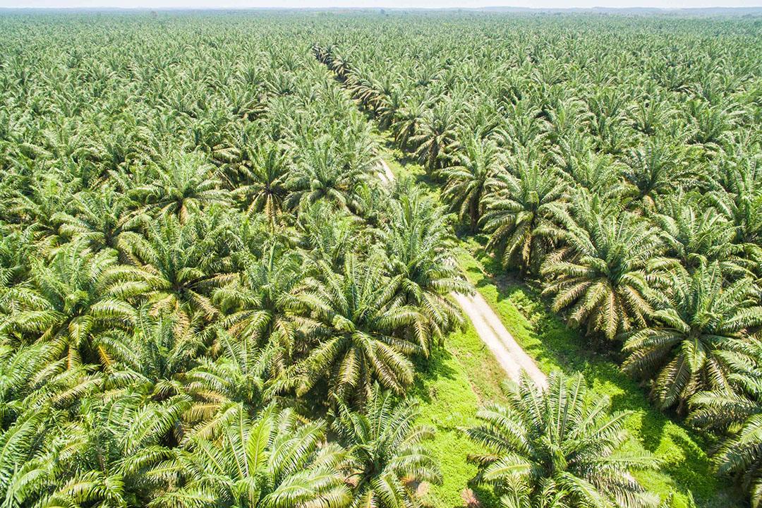 Om ruimte te maken voor palmolieplantages wordt dikwijls regenwoud platgebrand. Milieu- en mensenrechtenorganisaties zijn daarom al lang erg kritisch op de productie van palmolie. - Foto: Canva/yusnizam