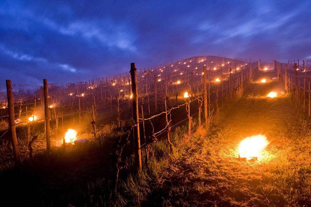 Telers stookten vuren tussen de wijnstokken om de planten tegen vorst te beschermen. - Foto: Canva/KU_09