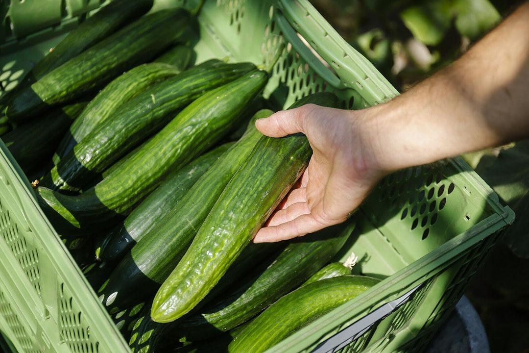 Biologische teelt van komkommers. Foto: ANP