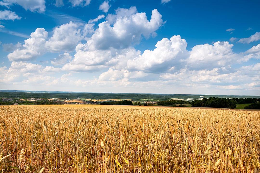 De oogstprognose voor graan is in Duitsland naar boven toe bijgesteld. - Foto: Canva