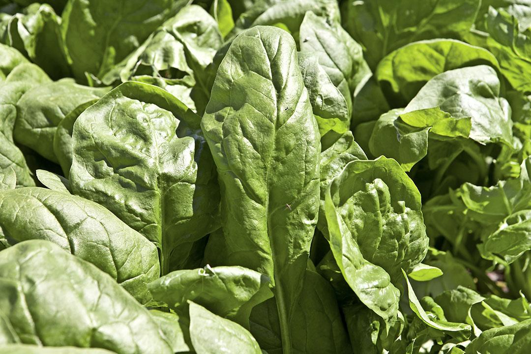 Spinazieblad blijkt geschikt als medium voor kweekvlees. Foto: Koos Groenewold