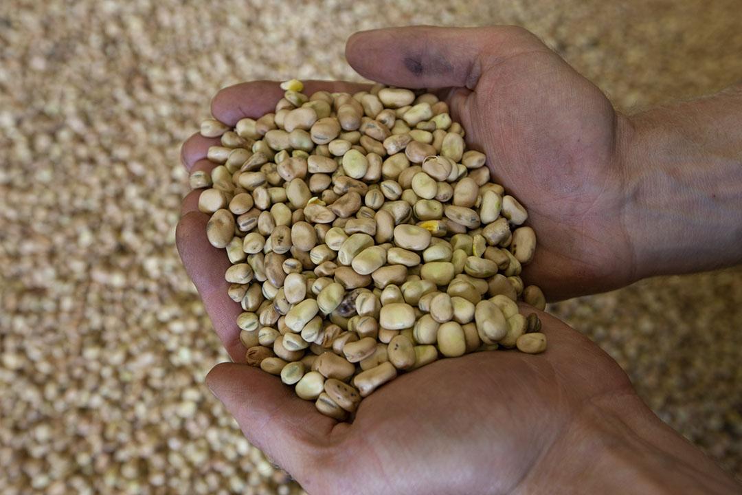 Veldbonen van Nederlandse bodem. Jos Hugense van Meatless ziet veldbonen als een geschikte vervanger van soja, onder andere doordat lokale teelt mogelijk is. - Foto: Hans Banus