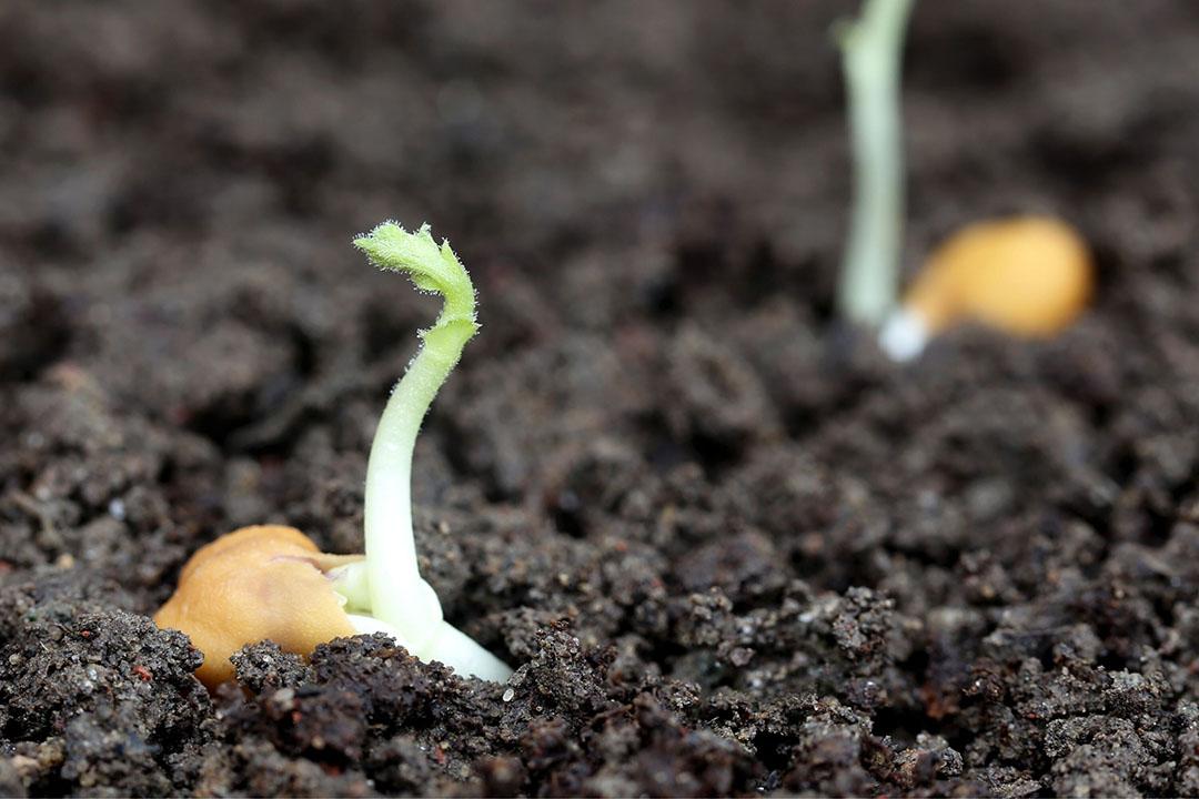 Beginnende kikkererwtplanten. Vlaanderen gaat de teelt van kikkererwten testen. - Foto: Canva.com