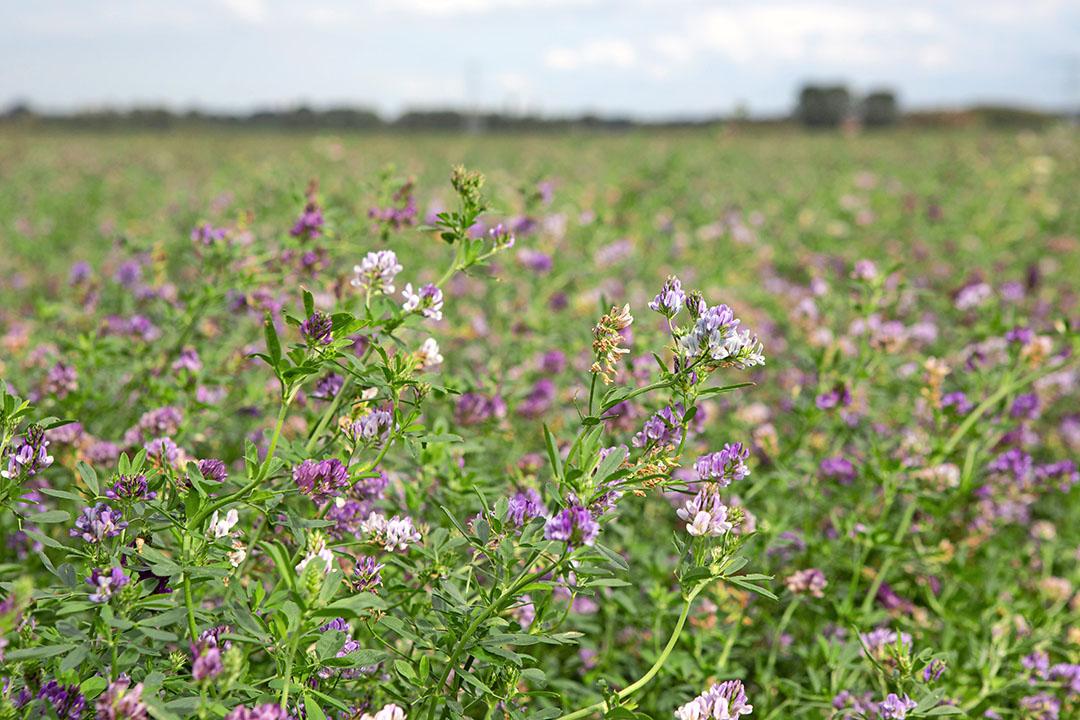 Luzerne in bloei vlak voor het maaien. - Foto: Peter Roek