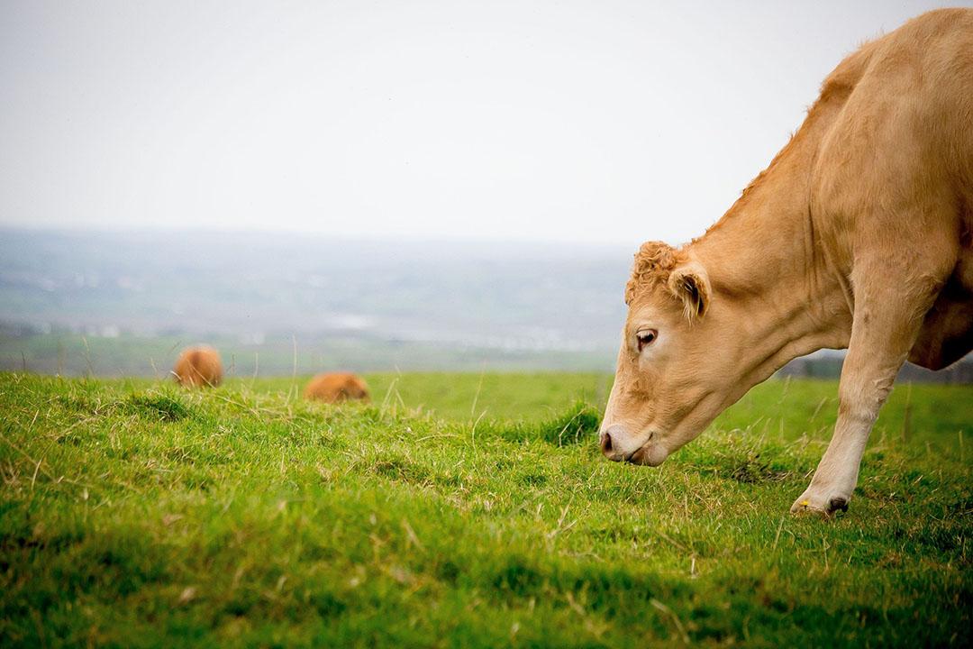 Kerry Dairy, onderdeel van het Ierse Kerry Group, verwerkt ruim een miljard liter melk per jaar ofwel een vijfde van de nationale melkplas. - Foto: Canva