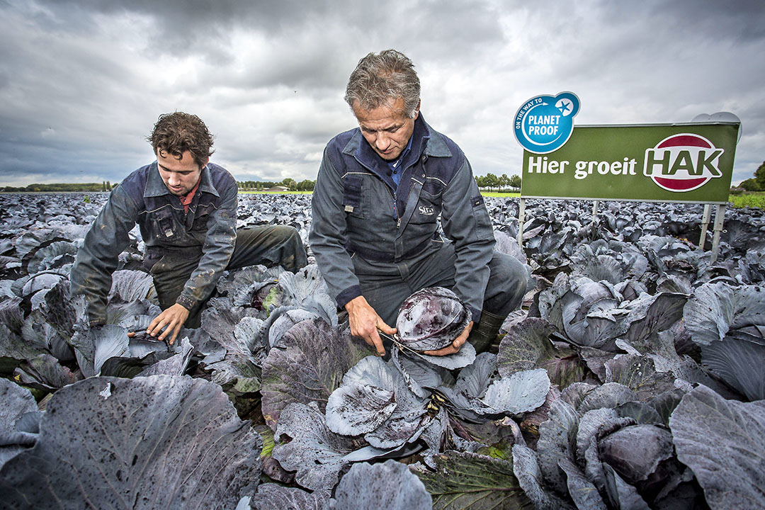 Rodekool die duurzaam is geteeld (PlanetProof) voor HAK wordt geoogst. Boeren krijgen hiervoor een meerprijs van de fabrikant. - Foto: ANP