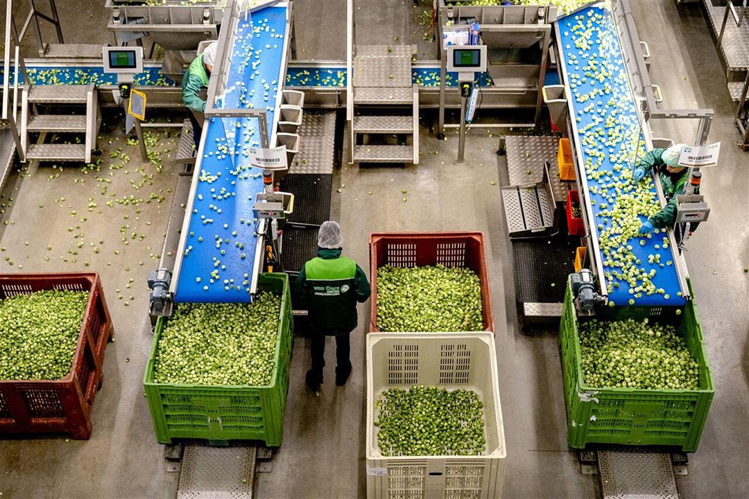 Het sorteren van spruiten. De partijen zetten handig in op voedsel als hoeksteen van preventiebeleid. Gezonde Nederlandse producten helpen obesitas en diabetes te bestrijden. - Foto: ANP
