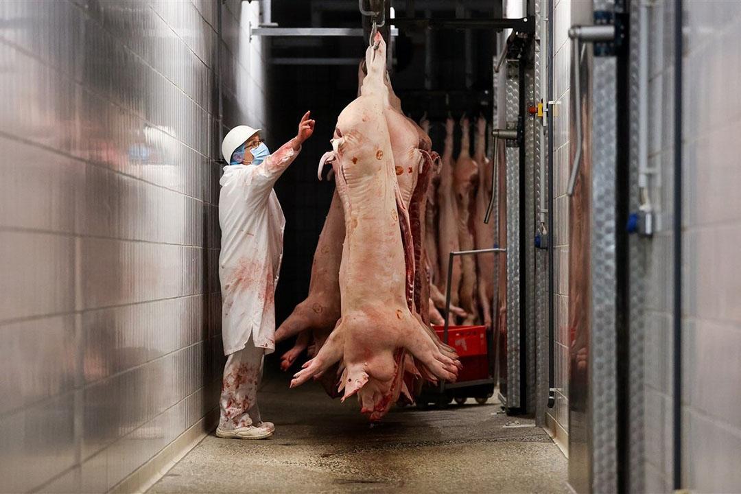 Varkens aan de slachtlijn in een Duitse slachterij. - Foto: ANP