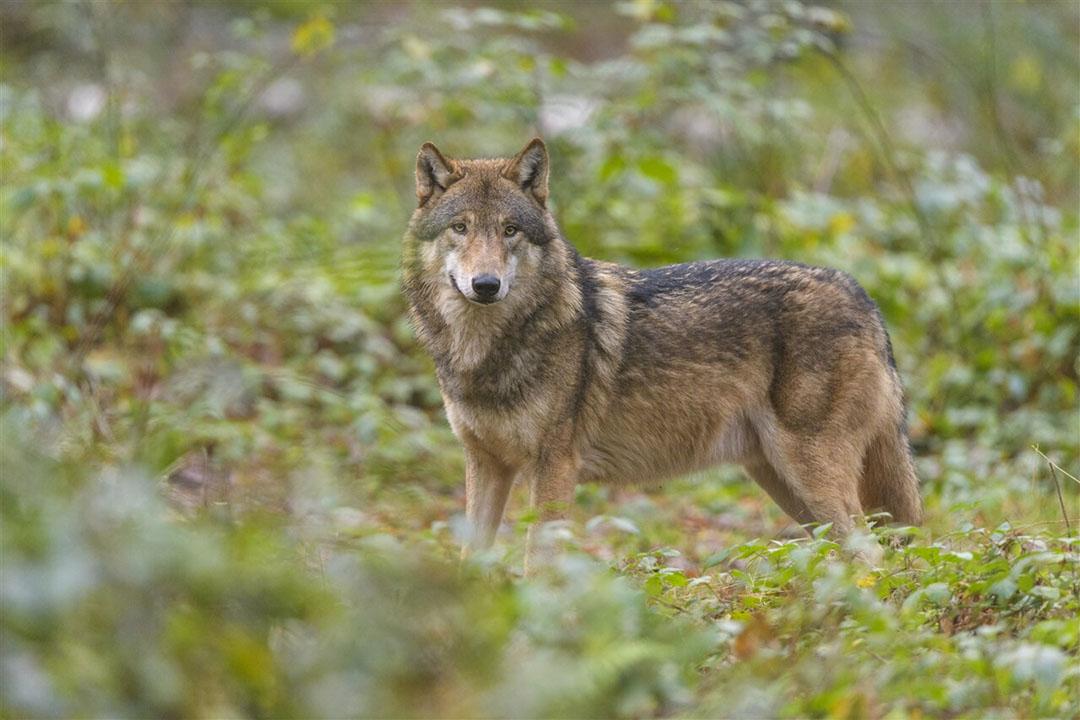 Wolf in het bos. Als de wolvenminnaars hun zin krijgen, komen er steeds meer wolven en minder vee in de wei. - Foto: ANP