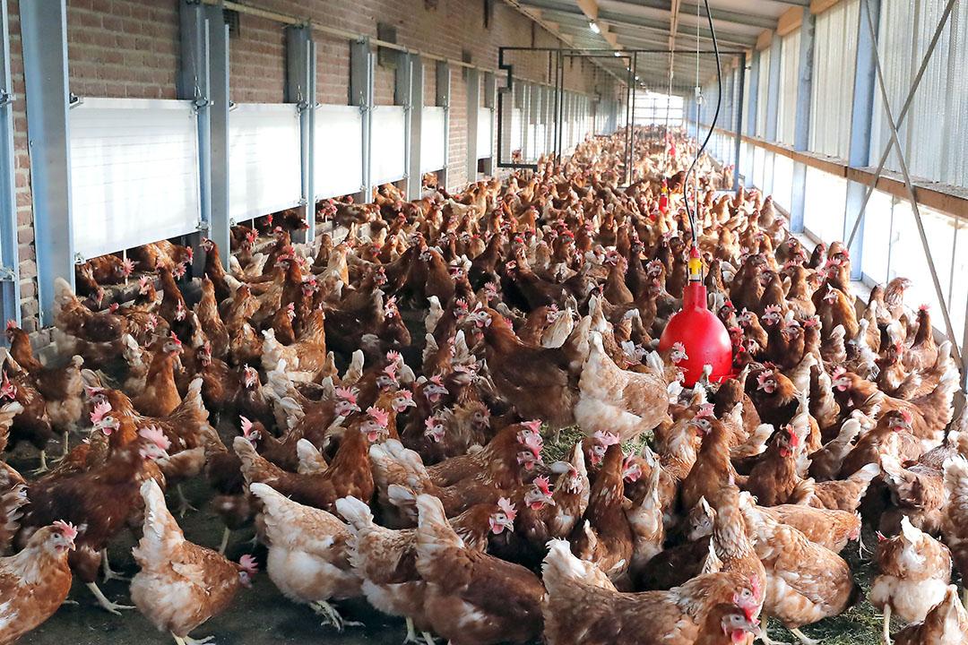Kippen in een overdekte uitloop. Op 23 oktober 2020 stelde LNV-minister Schouten voor heel Nederland een ophokplicht in voor alle bedrijven die commercieel pluimvee houden. - Foto: Bert Jansen