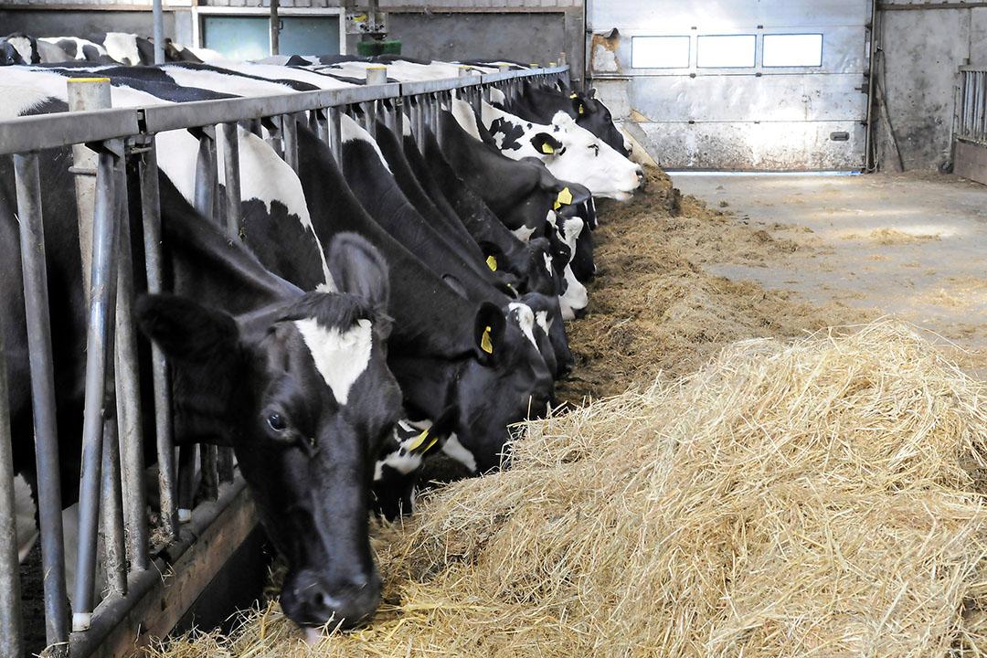 De belangrijkste methode om die emissie te beperken is de overmaat aan eiwit in het voer te beperken. - Foto: Fotostudio Wick Natzijl