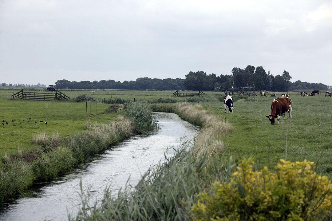 Koeien in de wei in het Friese landschap. De landbouw levert per saldo meer stikstofruimte in dan andere sectoren. - Foto: Hans Prinsen