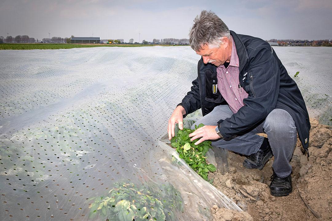 Alvantho-directeur David Hage (61) bekijkt de opkomst van Frieslander-aardappelen in een nabij gelegen perceel. Het koude voorjaar heeft effect op de groei van de vroege aardappelen, hoewel ze onder plastic een stuk verder zijn ontwikkeld dan in de koude grond. - Foto: Peter Roek