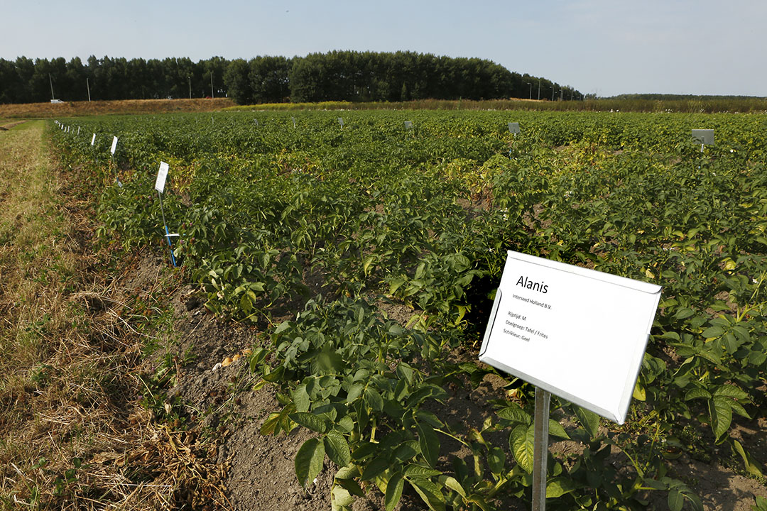 Demoveld van Bionext in Zeewolde met verschillende rassen biologische aardappelen. - Foto: Ton Kastermans