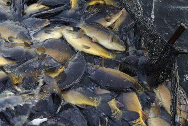 Methaaneiwit wordt onder meer gebruikt voor aquacultuur. - Foto: ANP