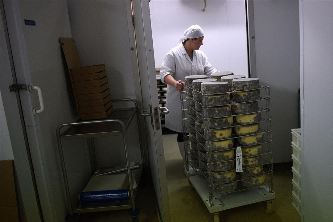 Productie van kaas in het Verenigd Koninkrijk. De export van zuivelproducten vanuit het Verenigd Koninkrijk ligt fors lager na brexit. - Foto: ANP