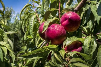 Nectarines in Franse boomgaard. - Foto: ANP