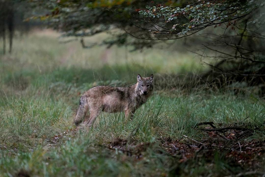 Een wolf op de Veluwe, gefotografeerd in oktober 2020. - Foto: ANP