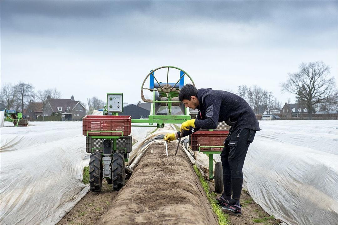 Een arbeidsmigrant aan het werk bij een aspergeteler. - Foto: ANP