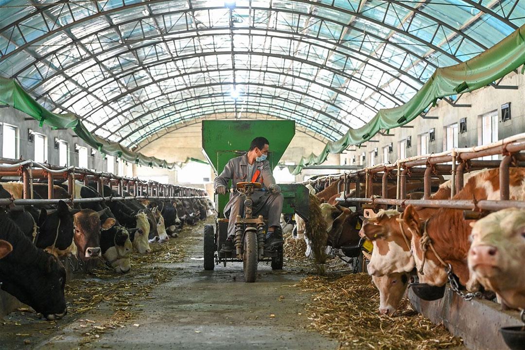 Mocht het China al lukken het benodigde aantal dieren te verzamelen dan ligt er nog een grote uitdaging wat betreft het nodige voer. Foto: ANP