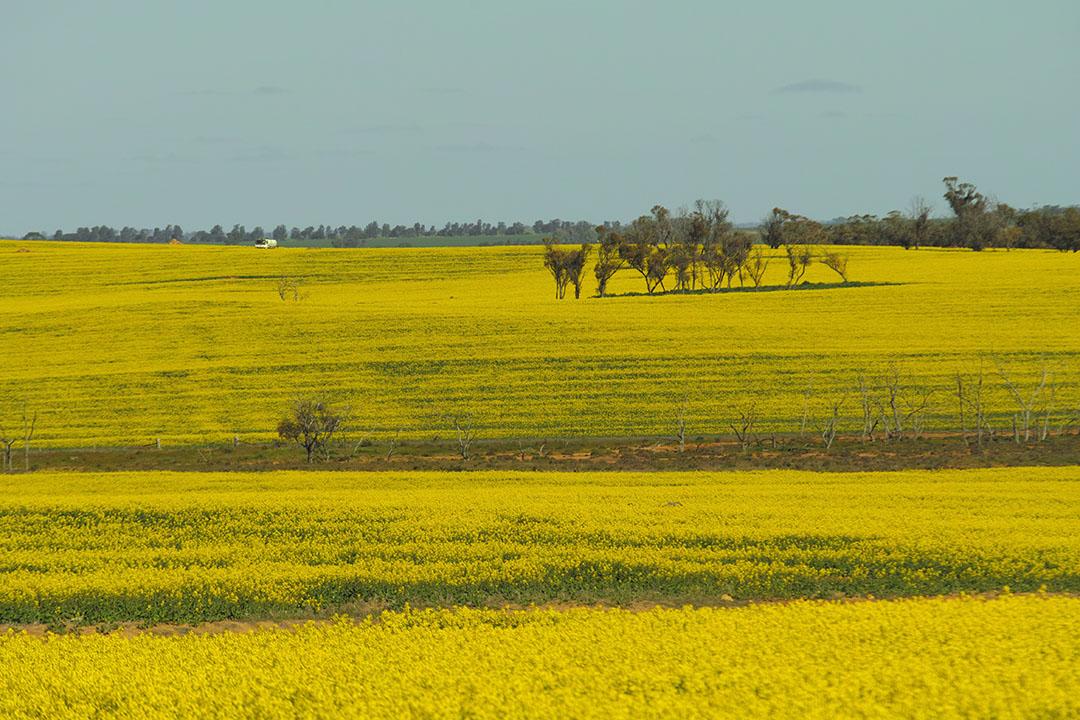 Koolzaad in Australië. - Foto: René Groeneveld
