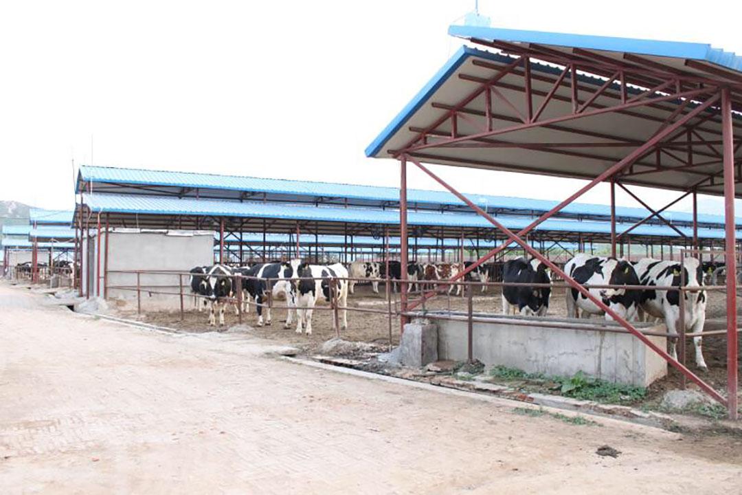 Koeien op een groot Chinees melkveebedrijf. - Foto: SDDDC