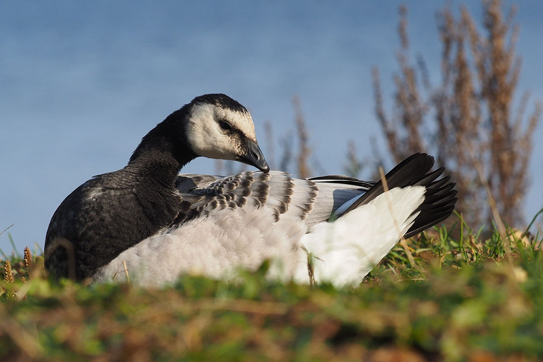 Voor het eerst is het vogelgriepvirus bij de start van het broedseizoen nog steeds in het land. De brandgans speelt daarin een rol. - Foto: Canva