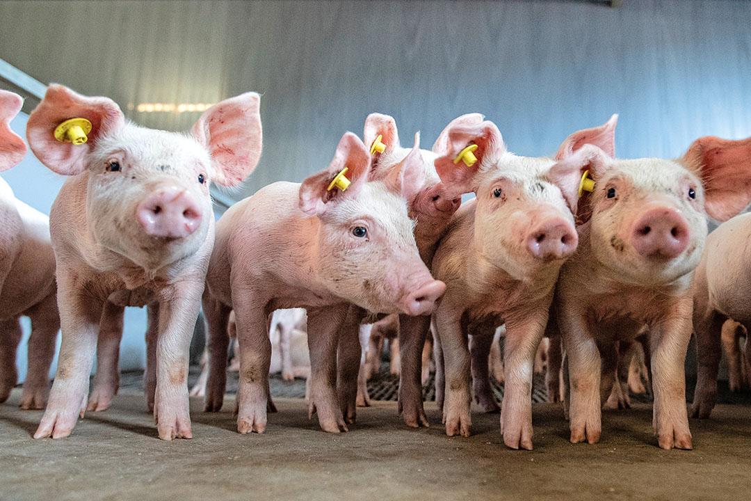 Biggen, klaar voor transport naar de vleesvarkenshouderij. - Foto: Ronald Hissink