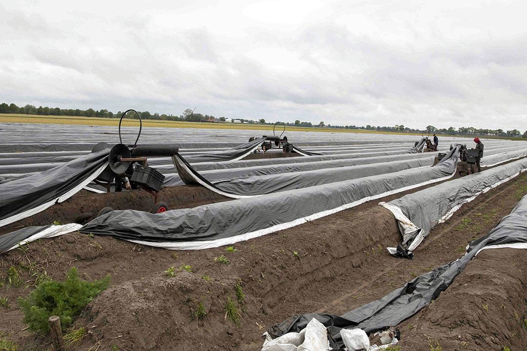 Aspergeteelt. De inspectiecijfers over 2020 in Agrarisch en Groen laten een ongewoon beeld zien door corona. Foto: Koos van der Spek