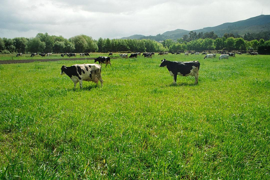 Koeien in Portugal. Volgens cijfers van Milk Market Observatory werd in dit land het minst voor melk betaald in april, vergeleken met andere EU-landen. - Foto: Canva