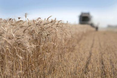 Tarweoogst in Friesland. De graanpools betaalden hoger uit dan het vijfjarig gemiddelde. Foto: Mark Pasveer