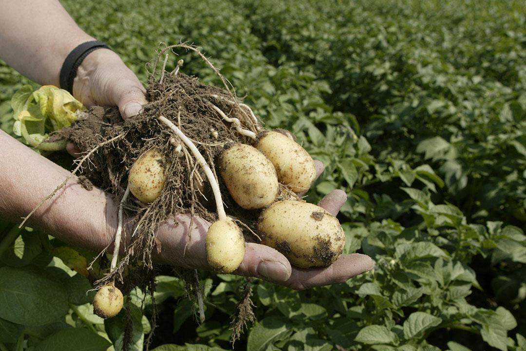 Er zijn meer hectares gepoot met het fritesras Agria. - Foto: Mark Pasveer