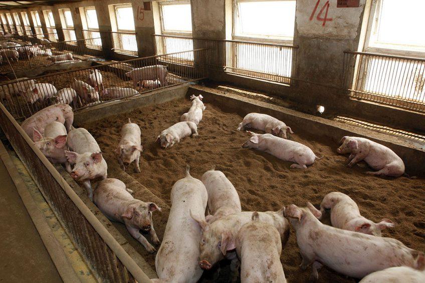 Varkensstallen in China - Foto: Henk Riswick