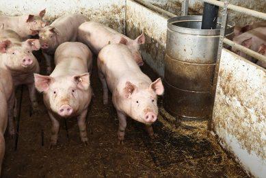 Beeld uit een Duitse varkensstal. Duitsland telde op 3 mei 5,5% minder varkens dan in november vorig jaar. - Foto: Henk Riswick