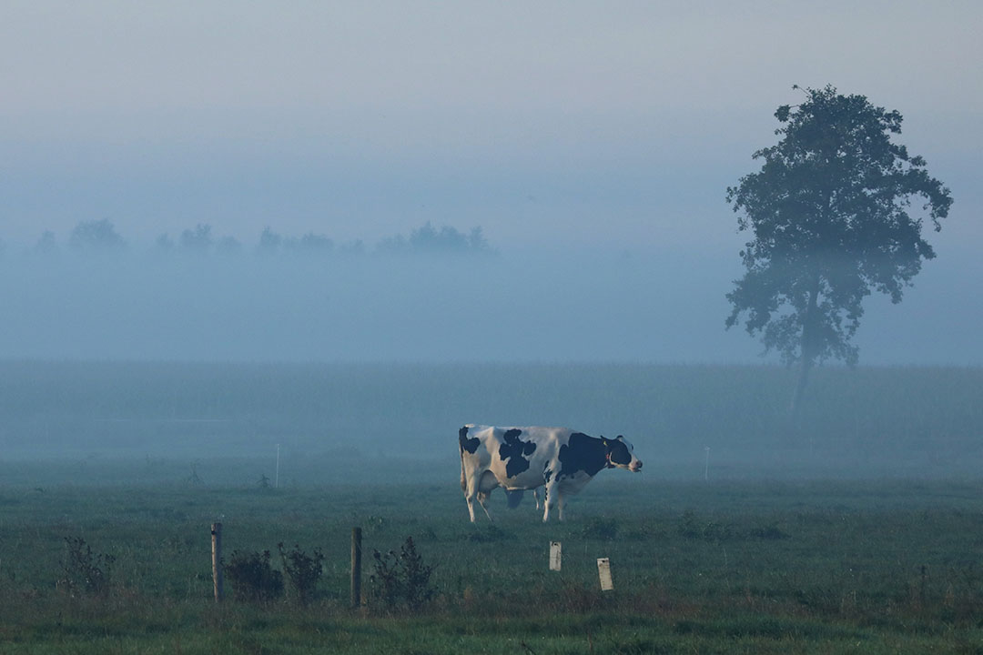 Een koe grazend in de ochtendmist. - Foto: Henk Riswick