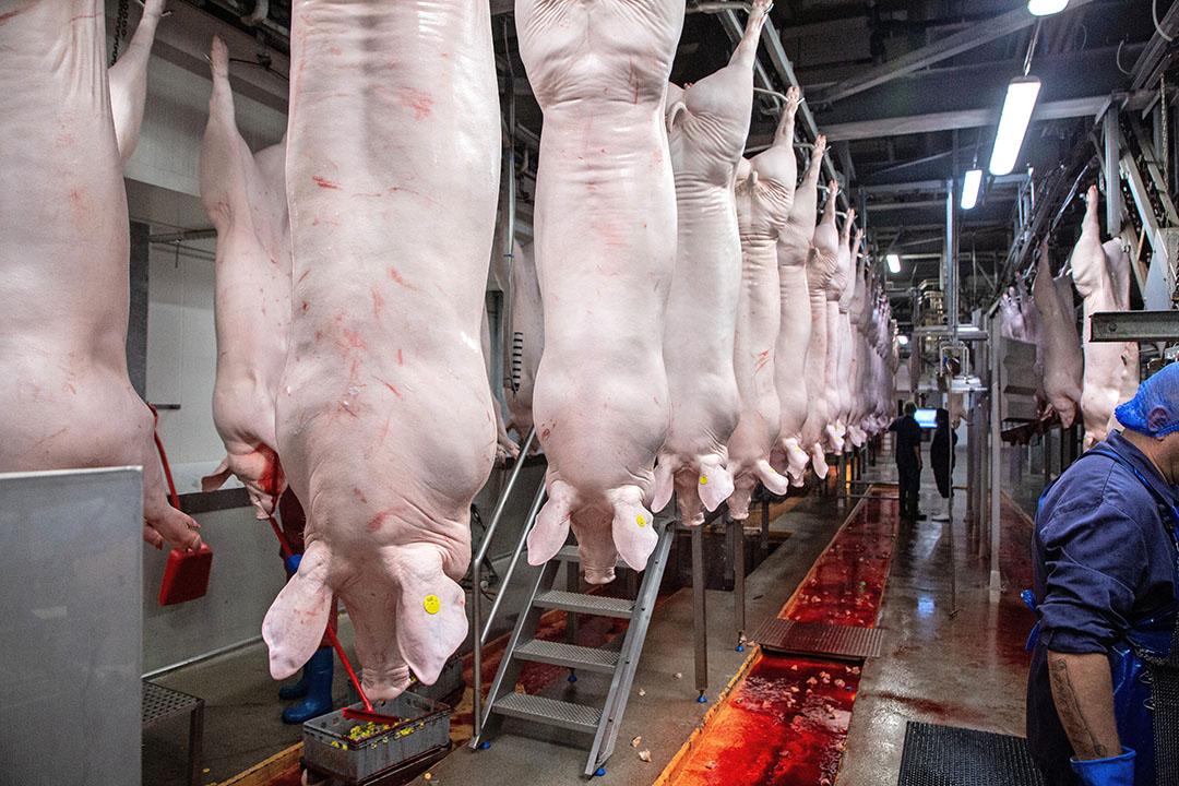 Varkens aan de slachtlijn. - Foto: Herbert Wiggerman