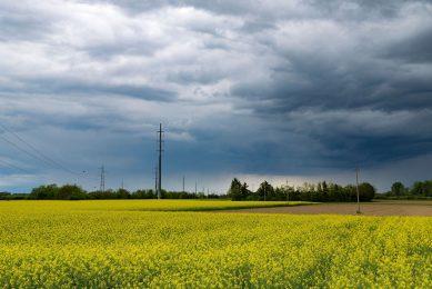 Bij koolzaad voorziet de organisatie een onveranderde oogst van 3,7 miljoen ton. - Foto: Canva