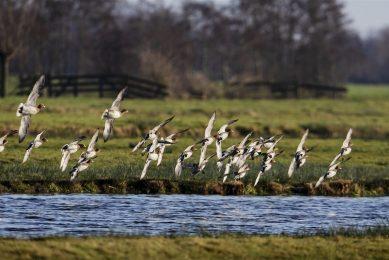 Commissie adviseert geen pluimveebedrijven toe te staan in buurt van watervogels. - Foto: ANP